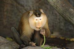 Macaca fascicularis eating bean Royalty Free Stock Photo