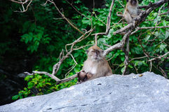 Macaca fascicularis female with the cub sitting on a rock. Monkey beach, Thailand Royalty Free Stock Photography