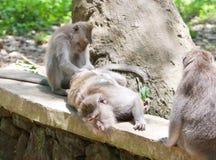 Macaca fascicularis im heiligen Fallhammer-Wald Lizenzfreies Stockbild