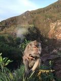 Macaca Fascicularis, krab-Etend Macaque, of Macaque Met lange staart bovenop Onderstel Batur tijdens Zonsopgang in Bali, Indonesi Stock Fotografie