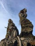 Macaca Fascicularis, krab-Etend Macaque, of Macaque Met lange staart bovenop Onderstel Batur tijdens Zonsopgang in Bali, Indonesi Stock Foto