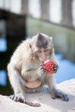 Macaca fascicularis Royalty Free Stock Image