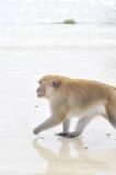 Macaca fascicularis oder langschwänziger Makakenaffe Lizenzfreie Stockfotografie