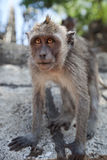 Macaca fascicularis Stock Image