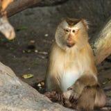 Macaca fascicularis Stock Images
