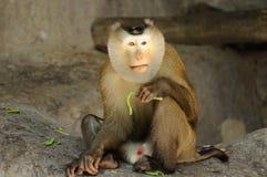 Macaca fascicularis Stock Photography