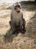 Macaca fascicularis Stock Photos
