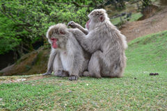 Macaca fuscata delousing in the forest Royalty Free Stock Images