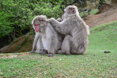 Macaca fuscata delousing in the forest Royalty Free Stock Image
