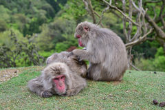 Macaca fuscata delousing in the forest Stock Photography
