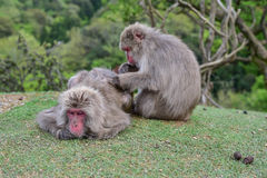 Macaca fuscata delousing in the forest Stock Photo