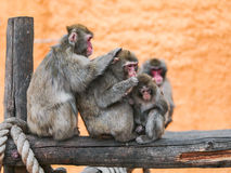 Macaca fuscata Royalty Free Stock Photography