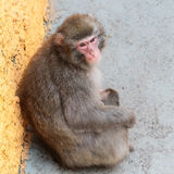 Macaca fuscata Royalty Free Stock Photos