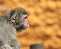 Macaca fuscata Royalty Free Stock Images