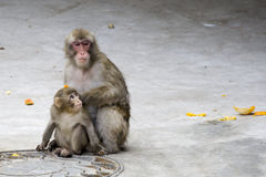 Macaca fuscata grauer japanischer Fallhammer Stockfotos