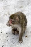 Macaca fuscata grey japanese monkey Stock Images