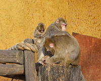 Macaca fuscata. Happy family. Japanese macaque - Macaca fuscata. Happy family Royalty Free Stock Photography