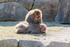 Macaca fuscata or Japanese macaque relaxing. Stock Photo