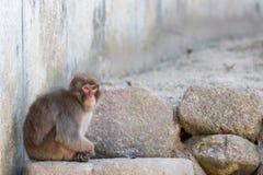 Macaca fuscata or Japanese macaque relaxing. Stock Photos