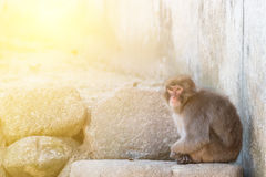 Macaca fuscata or Japanese macaque relaxing. Royalty Free Stock Image