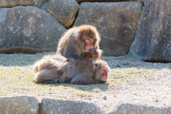 Macaca fuscata or Japanese macaque relaxing. Stock Images