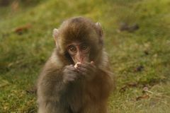 Macaca fuscata, Japanese macaque, snow monkey grooming, posing. Family eating Stock Photo