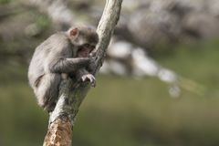Macaca fuscata, Japanese macaque, snow monkey grooming, posing Royalty Free Stock Photo