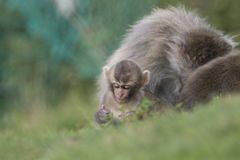 Macaca fuscata, Japanese macaque, snow monkey grooming, posing Stock Images
