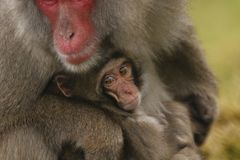 Macaca fuscata, Japanese macaque, snow monkey grooming, posing. Family eating Stock Images