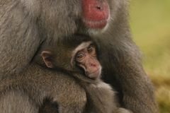 Macaca fuscata, Japanese macaque, snow monkey grooming, posing. Family eating Royalty Free Stock Images