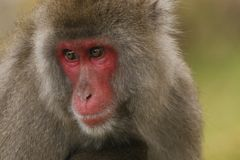 Macaca fuscata, Japanese macaque, snow monkey grooming, posing. Family eating Royalty Free Stock Photos
