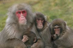 Macaca fuscata, Japanese macaque, snow monkey grooming, posing stock photo