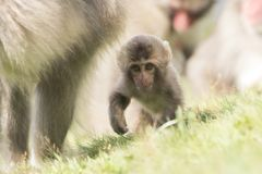Macaca fuscata, Japanese macaque, snow monkey grooming, posing. Family eating Royalty Free Stock Image