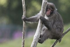 Macaca fuscata, Japanese macaque, snow monkey grooming, posing. Family eating Royalty Free Stock Photo