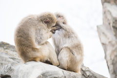 Macaca fuscata or Japanese macaque at zoo Royalty Free Stock Photography