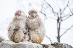 Macaca fuscata or Japanese macaque at zoo. Animal Stock Images