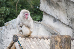 Macaca fuscata or Japanese macaque at zoo Stock Photography