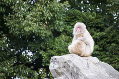Macaca fuscata or Japanese macaque at zoo Stock Photo