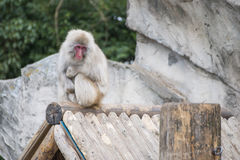 Macaca fuscata or Japanese macaque at zoo Stock Image