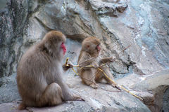 Macaca Fuscata - Japanese monkey friends Royalty Free Stock Images