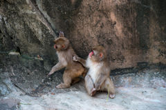 Macaca Fuscata - Japanese monkey touching a friend in the shoulder Stock Photos