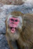Macaca fuscata, japanischer Macaque Lizenzfreies Stockbild