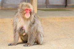 Arashiyama mother monkey royalty free stock images
