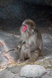 Macaca Fuscata - Red-faced Japanese monkey Stock Image