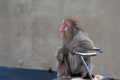 Macaca Fuscata - Relaxing japanese monkey Stock Image