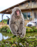 Macaca fuscata sitting on a branch Royalty Free Stock Images