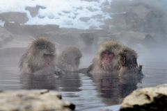 Macaca fuscata take a hot spring bath Royalty Free Stock Photography