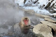 Macaca fuscata take a hot spring bath Stock Photography