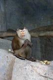 Macaca leonina. The monkey sits on Royalty Free Stock Photos