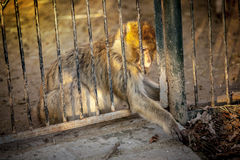 Macaca-Makaken-Affe, der etwas fasst Lizenzfreies Stockfoto